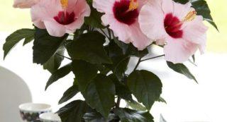 Причины почему у китайской розы желтеют листья